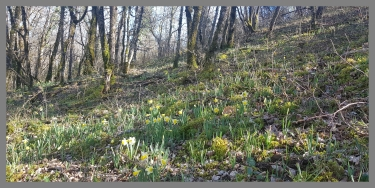 RONDO JONQUILLES A LOMPLA-aveyron